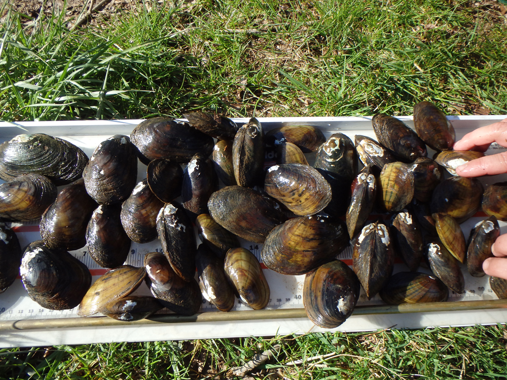 Relocation of Freshwater Mussels West Fork River in Harrison County, WV