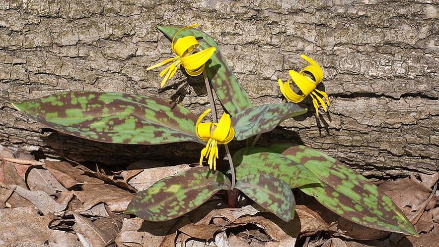 Getting to Know West Virginia Spring Wild Flowers (Ephemerals)