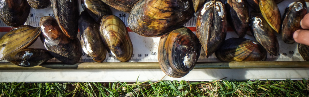 Freshwater Mussel Surveys & Conservation for Dam Removals