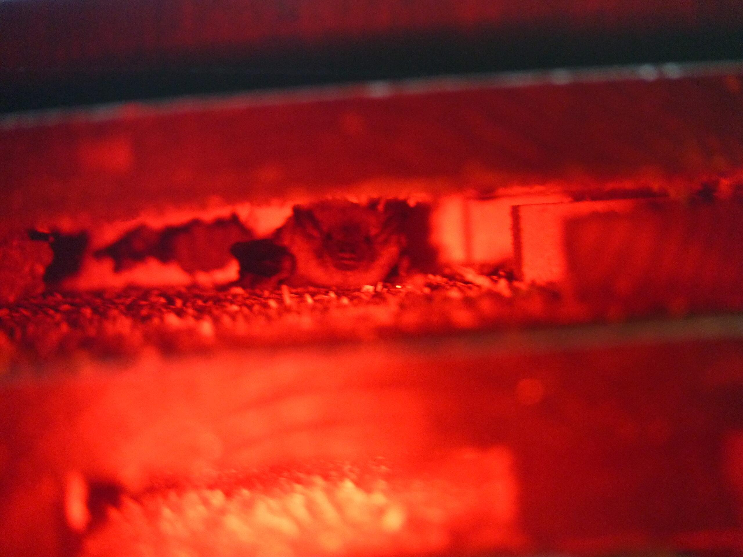 An Allstar Ecology bat box at work (A Big Brown bat shown inside)